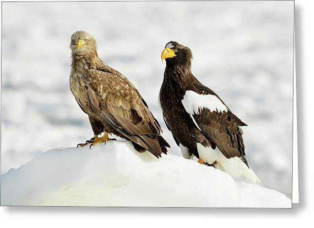 White-tailed And Steller's Sea Eagles Greeting Card