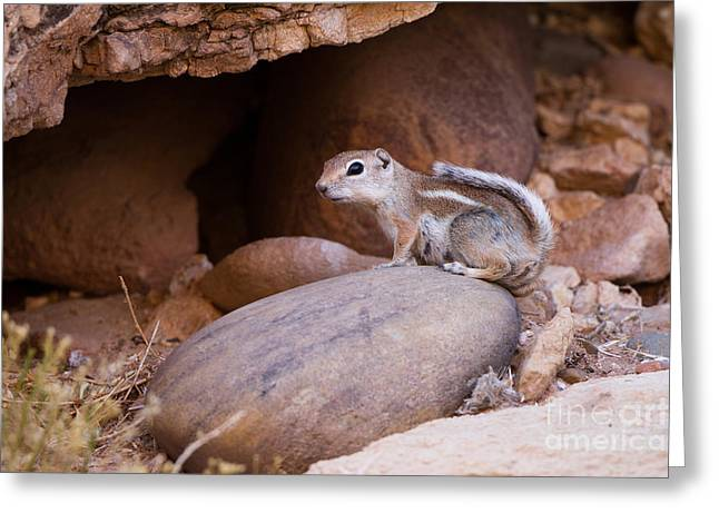 White-tailed Antelope Squirrel Greeting Card