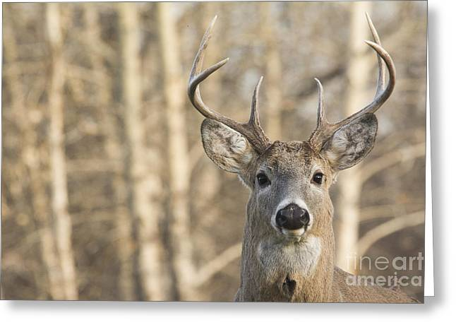 White-tailed Buck Greeting Card
