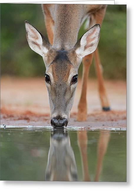 White-tailed Deer Drinking, South Greeting Card
