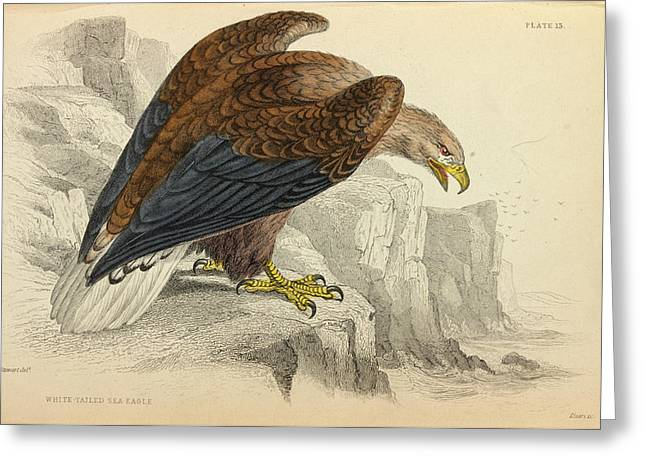White-tailed Eagle Greeting Card by Natural History Museum, London