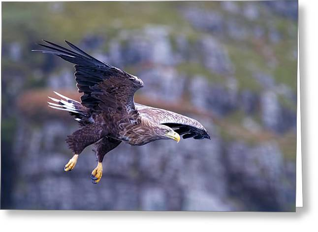 White Tailed Eagle On Mull Scotland Greeting Card by Mr Bennett Kent