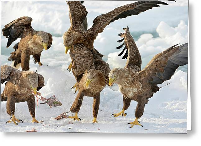White-tailed Eagles With Prey Greeting Card