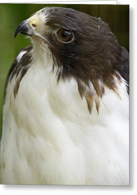 White-tailed Hawk, Buto Albicaudatus Greeting Card