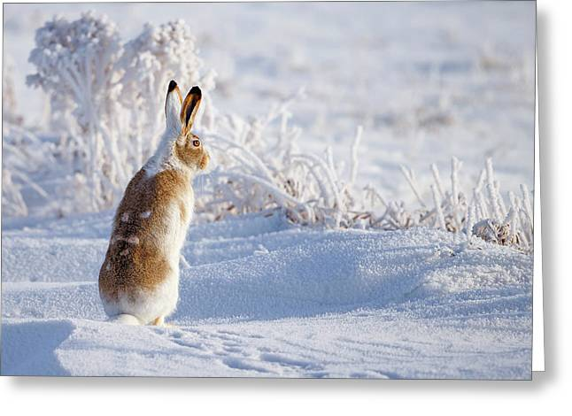 White-tailed Jackrabbit Greeting Card