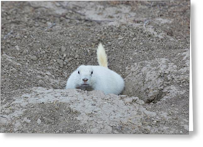 White-tailed Prairie Dog Cynomys Greeting Card by Panoramic Images