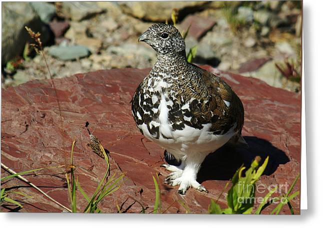 Greeting Card featuring the photograph White-tailed Ptarmigan by Sue Smith