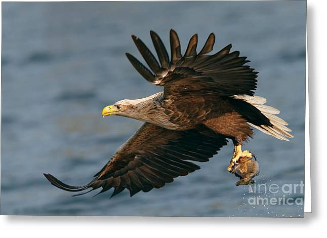 White-tailed Sea Eagle Greeting Card by Thomas Hanahoe