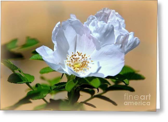 White Tea Rose Greeting Card