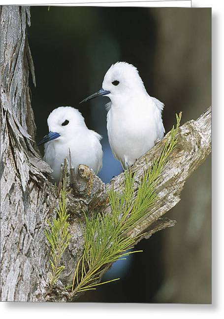 White Tern Pair On Nest Site Midway Greeting Card