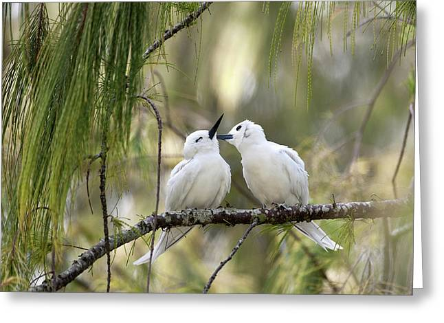 White Terns (gygis Alba Rothschildi Greeting Card by Daisy Gilardini