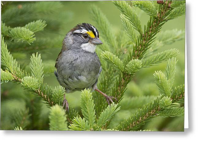 White-throated Sparrow Male In Breeding Greeting Card by Scott Leslie