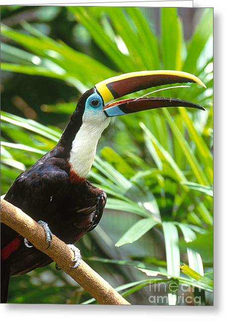 White-throated Toucan Greeting Card by Art Wolfe