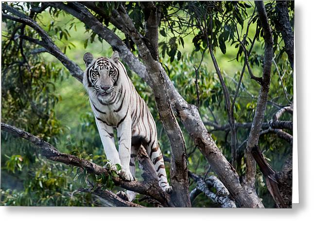 White Tiger On The Tree Greeting Card by Jenny Rainbow