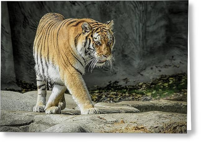 Tiger Prowl Greeting Card by LeeAnn McLaneGoetz McLaneGoetzStudioLLCcom