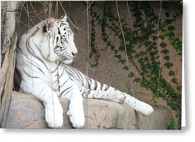 White Tiger Resting Greeting Card by Phyllis Beiser