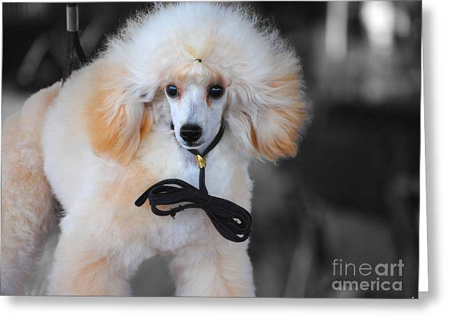 White Toy Poodle Greeting Card by Jai Johnson