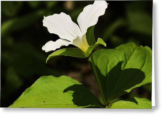 Greeting Card featuring the photograph White Trillium by Al Fritz