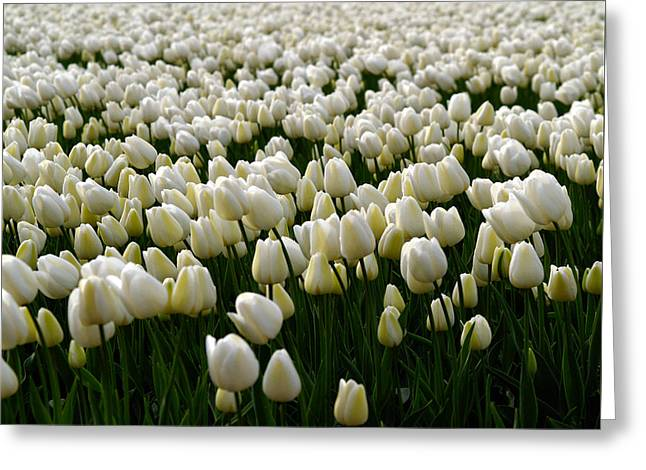 White Tulip Field  Greeting Card