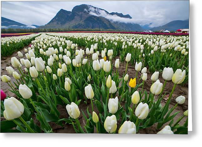 White Tulips Greeting Card by James Wheeler