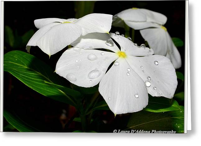 White Vincas Greeting Card by Laura DAddona
