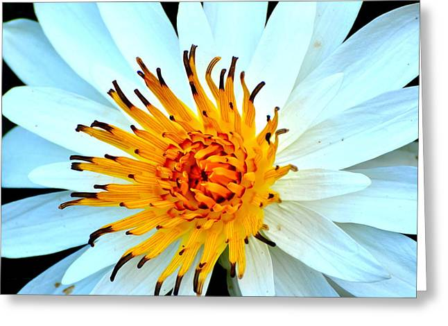 Greeting Card featuring the photograph White Water Lilly II by Jodi Terracina