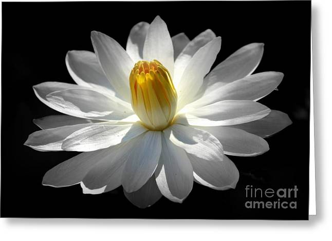 White Water Lily #2 Greeting Card by Lisa L Silva