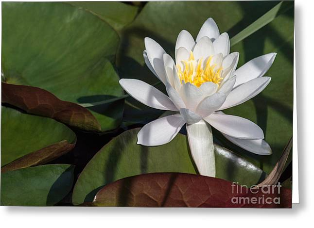 White Water Lily Greeting Card by Arlene Carmel