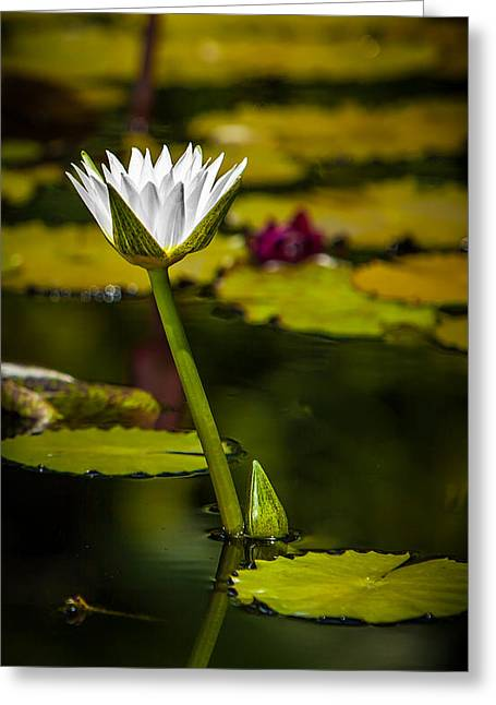 White Water Lily Greeting Card by Julio Solar