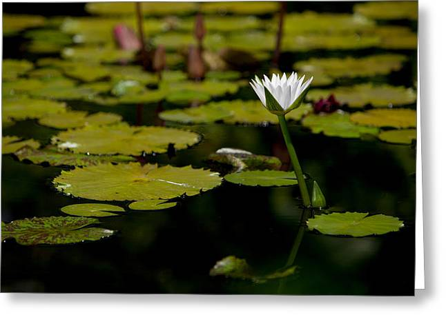 White Water Lily Uncropped Greeting Card by Julio Solar