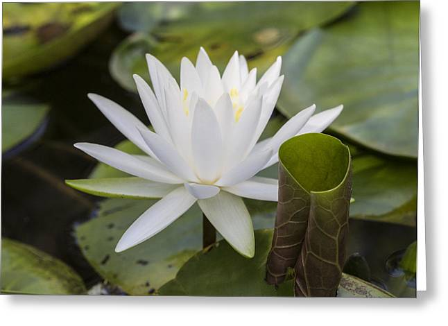White Water Lily With Curiously Scrolled Leaf Greeting Card