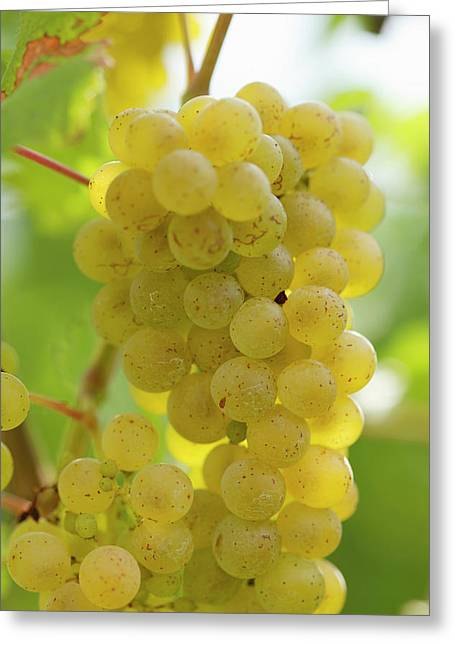White Wine Grapes On The Vine Greeting Card