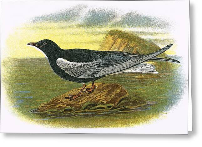 White Winged Black Tern Greeting Card by English School