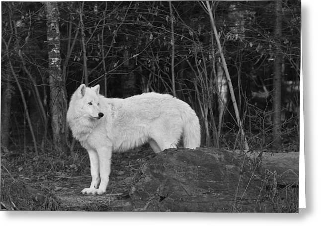 White Wolf Greeting Card by Kate Purdy