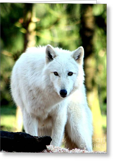 White Wolf Greeting Card by Nick Gustafson