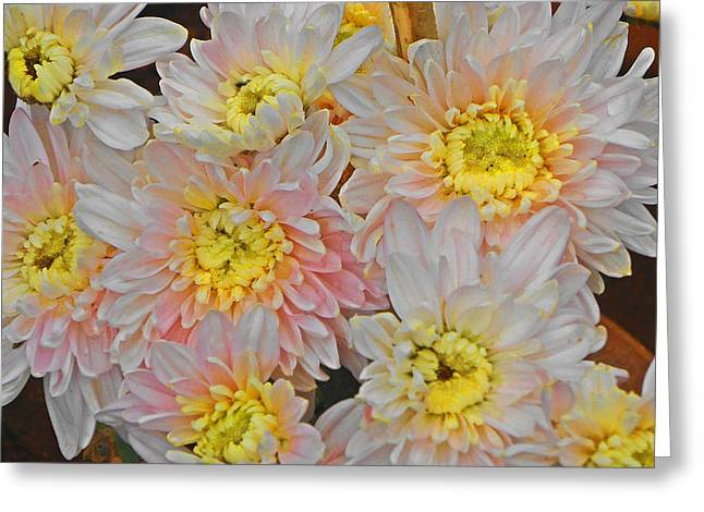 White Yellow Chrysanthemum Flowers Greeting Card by Johnson Moya