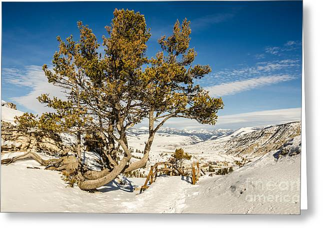 Whitebark Pine Pinus Albicaulis Greeting Card by Sue Smith