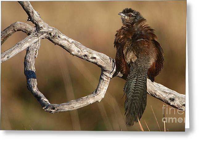 Whitebrowed Coucal Greeting Card