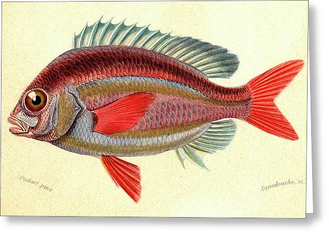 Whitecheek Monocle Bream Greeting Card by Collection Abecasis