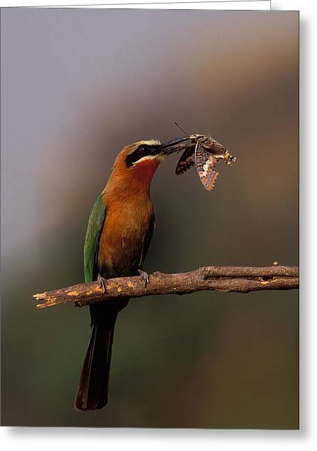 Whitefronted Bee-eater With Butterfly Greeting Card by Nigel Dennis