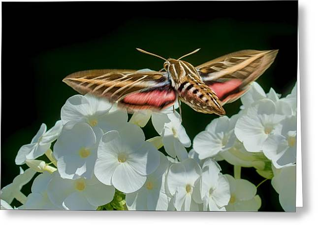 Whitelined Sphinx Moth - Hawk-moth - Hummingbird Moth Greeting Card by Nikolyn McDonald