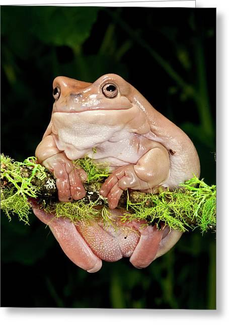 White's Treefrog, Litoria Caerulea Greeting Card by David Northcott