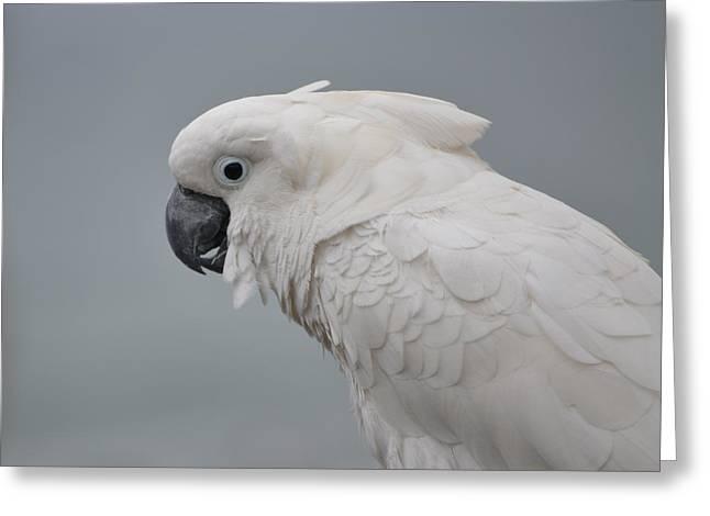 Whitest Bird Greeting Card by Kiros Berhane