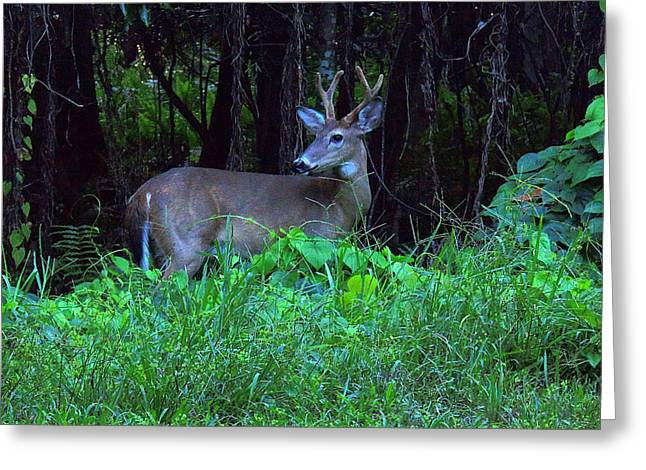 Whitetail Buck 015 Greeting Card