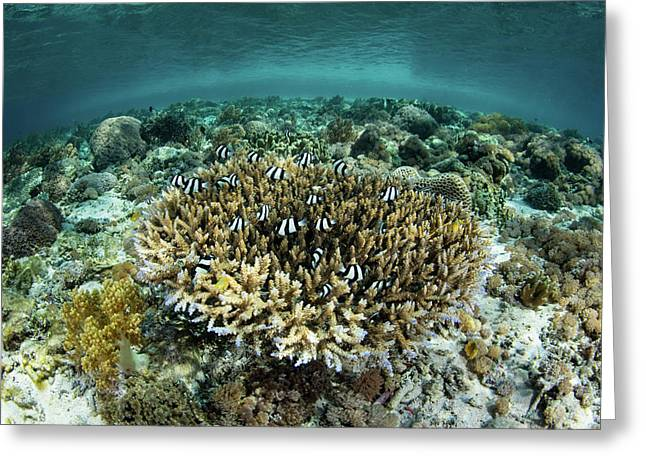 Whitetail Damselfish Swim Over A Coral Greeting Card