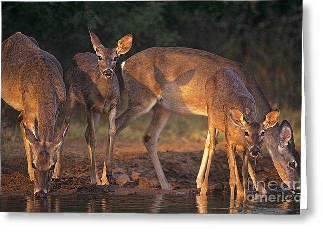 Whitetail Deer At Waterhole Texas Greeting Card by Dave Welling