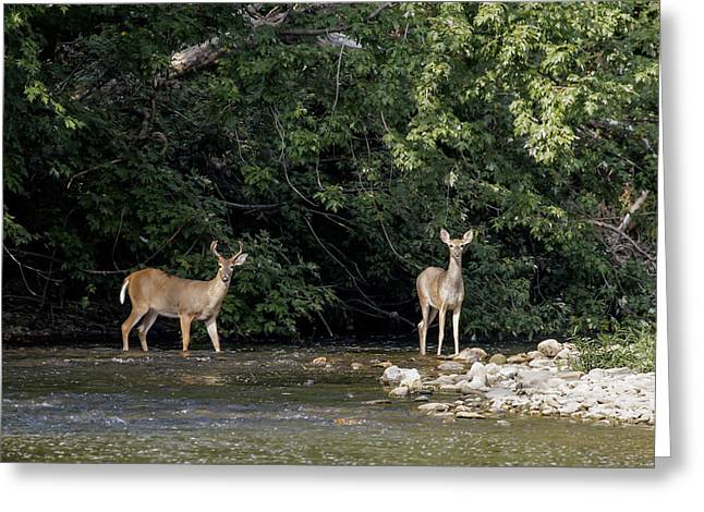 Whitetail Deer Greeting Card by David Lester