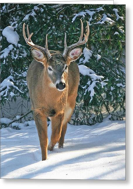 Whitetail Deer Eight Point Greeting Card