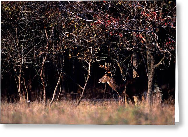 Whitetail Deer Odocoileus Virginianus Greeting Card