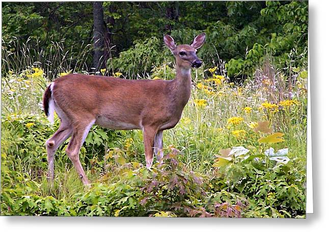 Greeting Card featuring the photograph Whitetail Deer by William Tanneberger